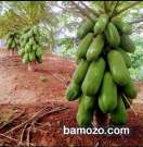 Semences de papayer Red royal ou Nain